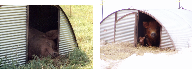 Farrowing Huts For Sale http://www.highmeadowssuffolks.com/port-a-hut-livestock-shelters.html